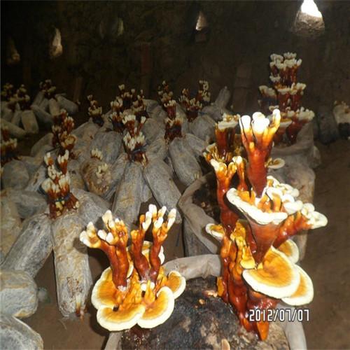 灵芝菌种茂名知名企业