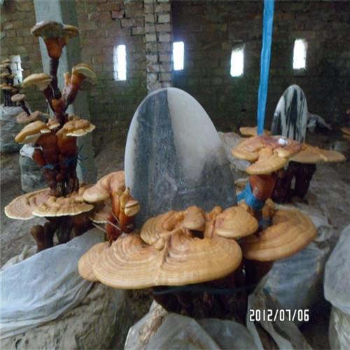 茂名灵芝菌种质量保证