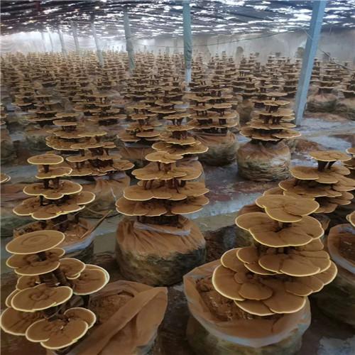茂名支持定制的灵芝粉生产厂家