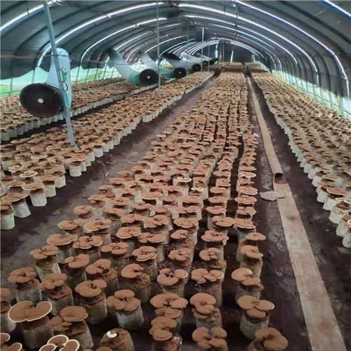 销售灵芝菌棒的乌兰察布厂家