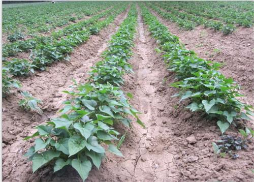 朝阳高产脱毒红薯苗成活率高
