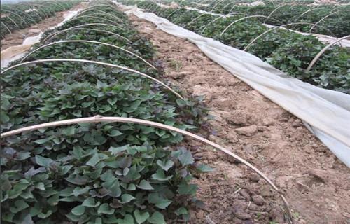 朝阳高产脱毒红薯苗品种齐全