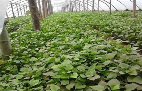 朝阳高产脱毒红薯苗生长周期