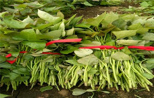 朝阳高产脱毒红薯苗市场行情