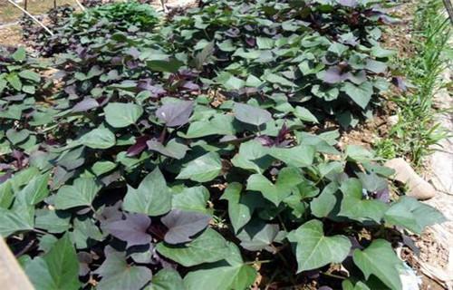 景德镇番薯苗(紫薯苗)多少钱