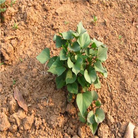 河北脱毒紫薯苗种植厂家