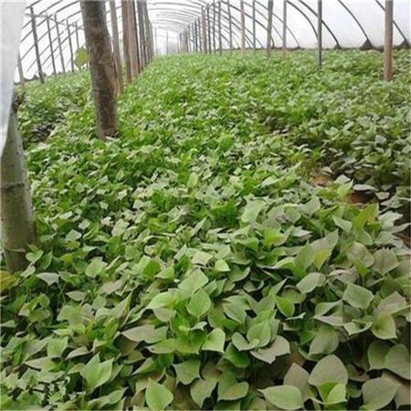 珠海紫薯苗(绫紫)市场报价