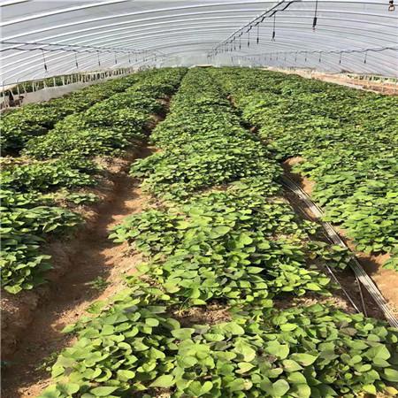 河北紫薯苗种植基地
