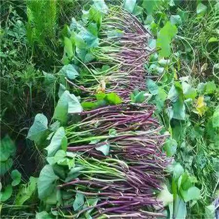 德宏紫甘薯苗图片