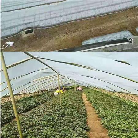 普洱紫薯苗(东风8号)