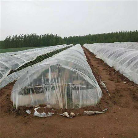 珠海紫红薯苗种植厂家