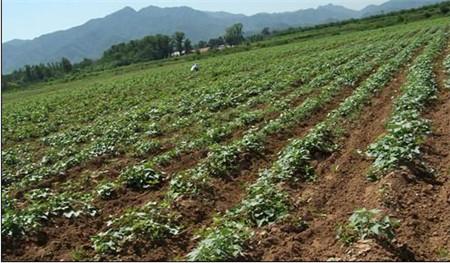 河北紫薯苗(济黑2号)厂家价格是多少