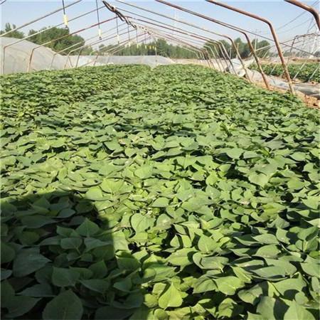 河北紫红薯苗