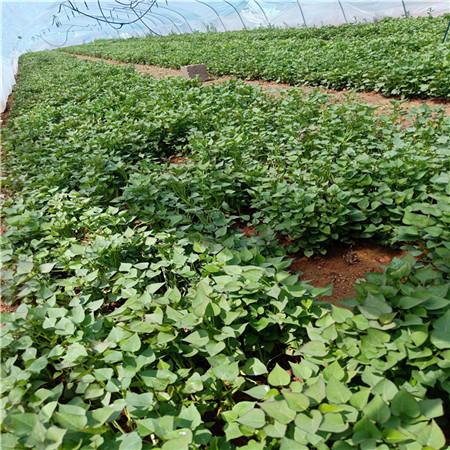 德宏紫薯苗(济黑2号)图片
