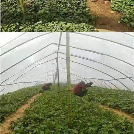 珠海紫薯种子欢迎致电