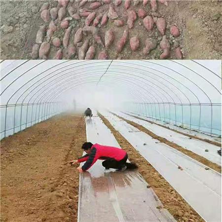 珠海紫红薯苗厂家