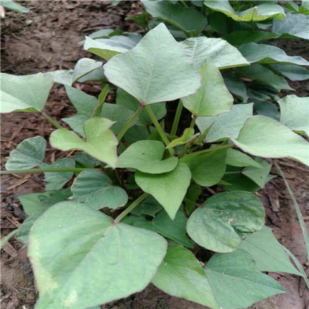 德宏鲜食型紫薯苗图片