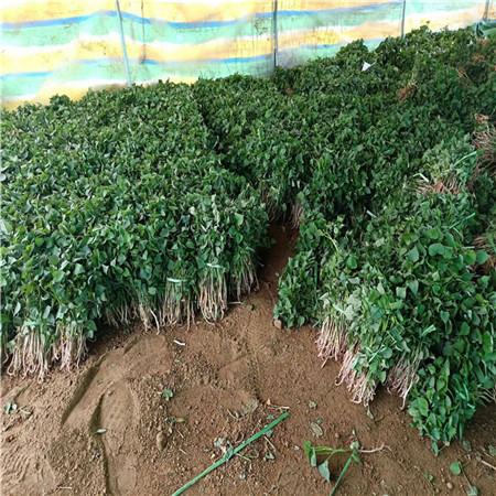 河北紫甘薯苗厂家价格是多少