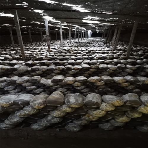 茂名质量好的灵芝菌棒厂家排名