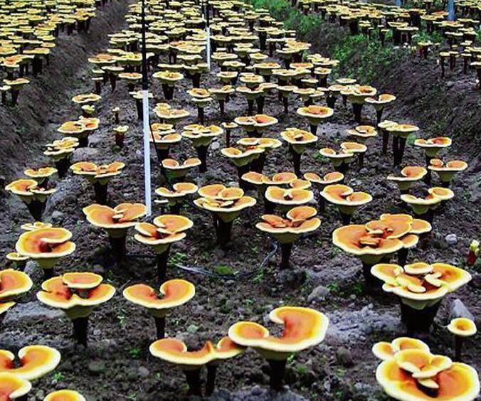茂名支持定制的破壁灵芝孢子粉生产厂家