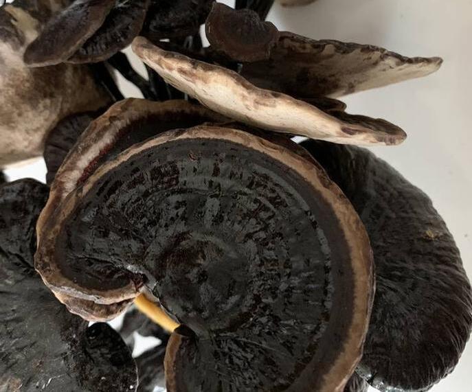 山西灵芝菌棒、灵芝菌棒生产厂家-质量保证